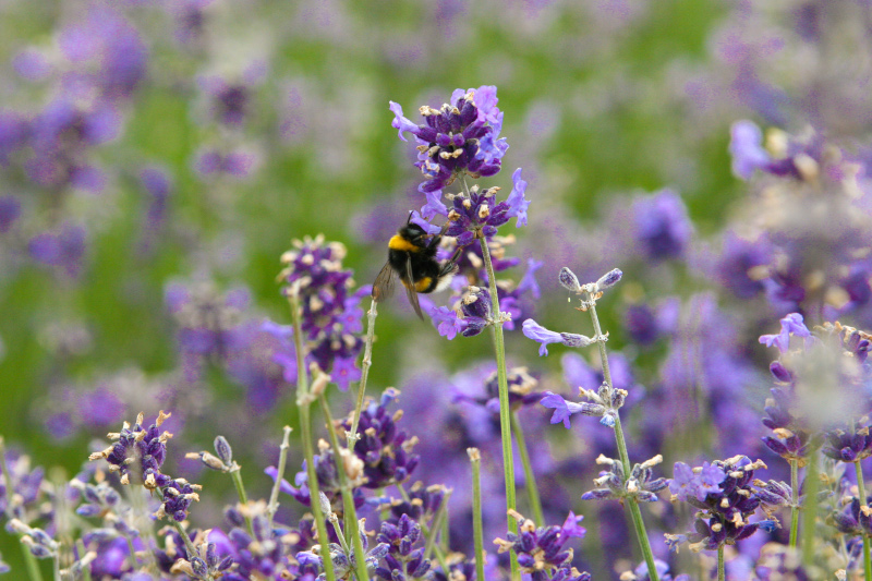 Bienen im Lavendel
