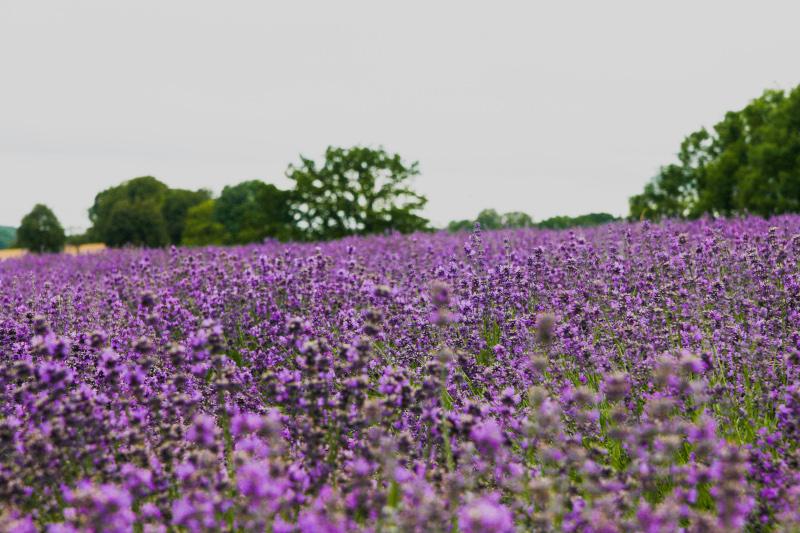Lavendelblick