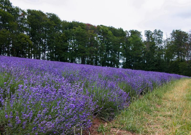 Lavendel im Teutoburger Wald