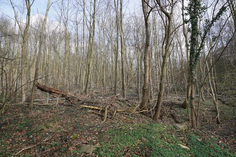 Wald am Leberblümchenweg in Amshausen