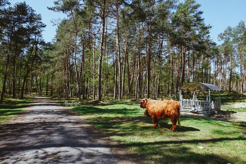 Hochlandrinder auf dem Rundweg in Augustdorf